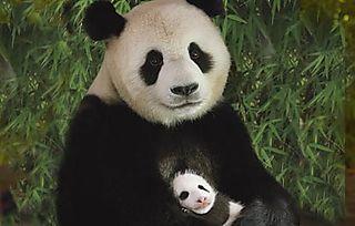 Pandaandcub