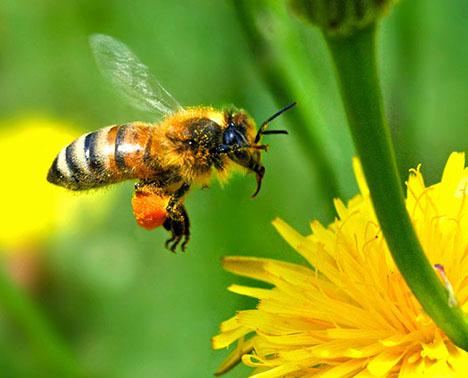 Europeanhoneybee