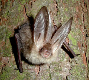 Brown-long-eared-bat