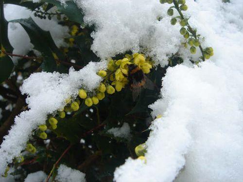In the snow_Bob White