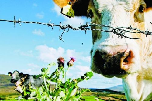 Cow behind barbed wire
