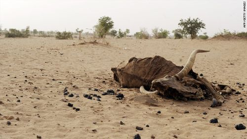 Dead bull in Niger