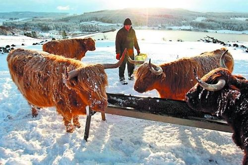 HIghland cows in snow