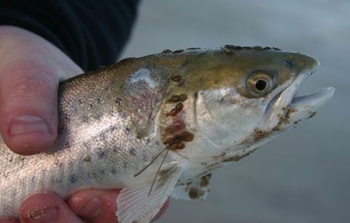 Wild juvenile sea trout infested with sea lice