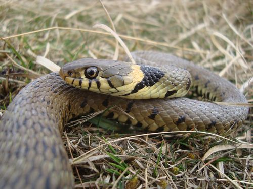 Grass snake ©Chris Gleed-Owen