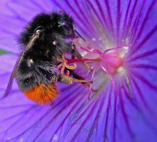 Red Tailed Bumblebee on Blue Cranesbill ©Graham White