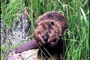 Beaver on riverbank