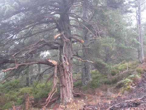 Damaged tree at Glen Tanar ©Derek Pyper