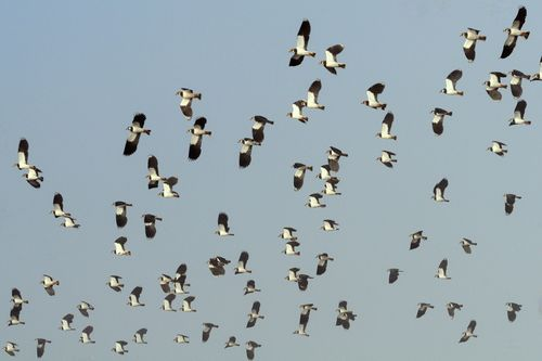 Lapwings in flight ©RSPB