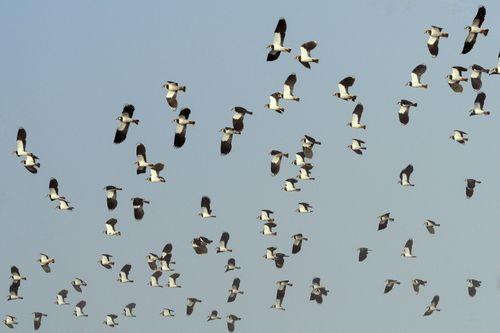 Lapwings in flight ©RSPB