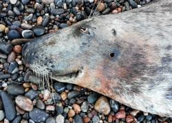 Shot female seal