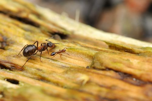 Shining guest ant and hairy wood ant ©Stewart Taylor