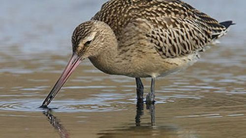 The mudflats are important for birds