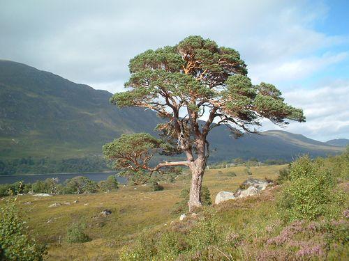 A pine tree in Glen Affric