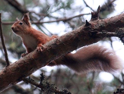 Red Squirrel ©Badenoch and Strathspey Conservation Group