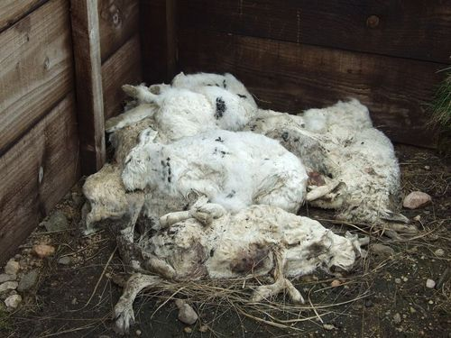 Dead mountain hares on Deeside, April 2010