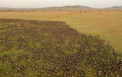 Wildebeest migration (©Daniel Rosengren)