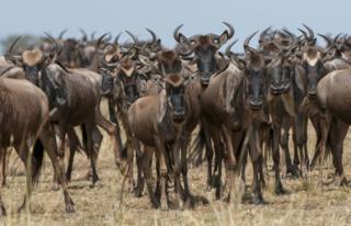 Wildebeest (©Daniel Rosengren)