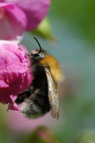 Tree bumblebee by Bumblebee Conservation Trust