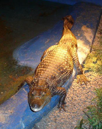 A crocodile on sale as a pet in Scotland (photo from OneKind)