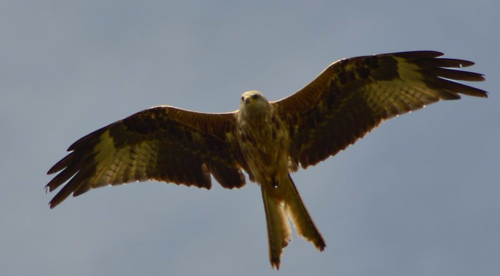 Red kite (photo by Jacob Spinks)