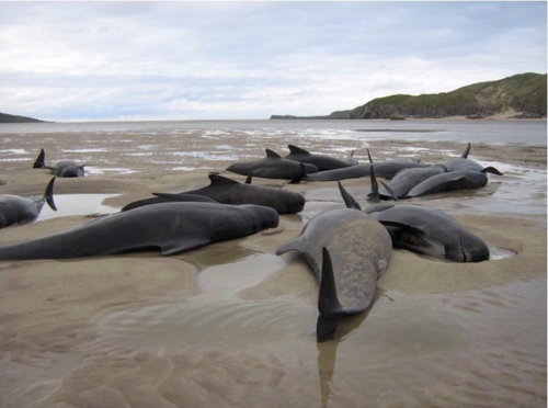 Pilot whales stranded in the Kyle of Durness